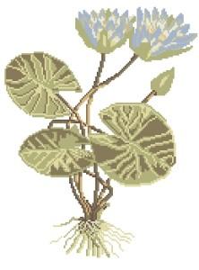 Схема Водяная лилия (ботаника)