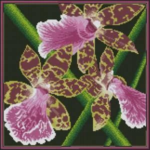 Схема Орхидея / Zygopetalum