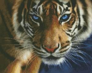 Схема Голубоглазый тигр